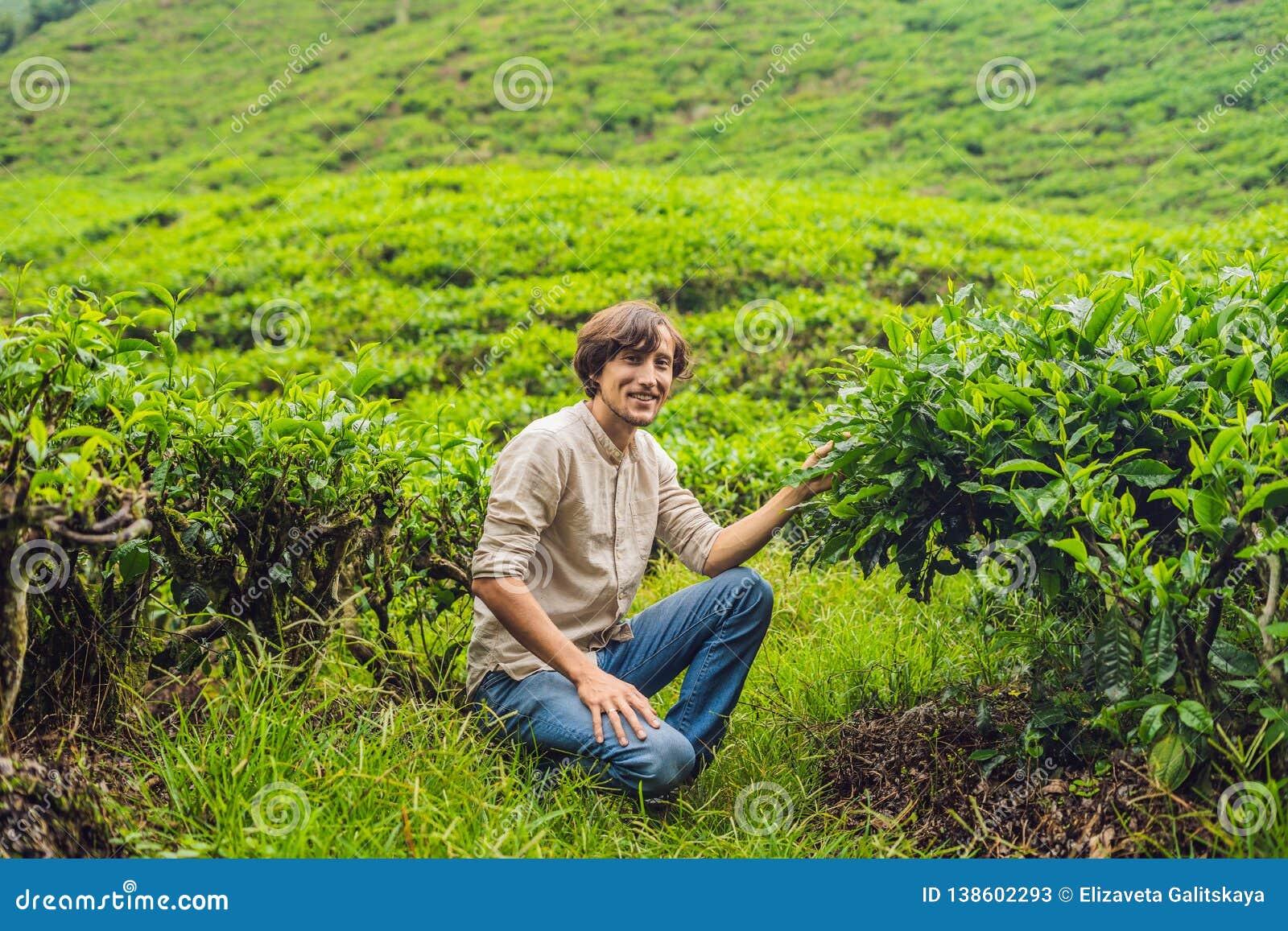 Turista dos homens em uma plantação de chá As folhas de chá selecionadas, frescas naturais no chá cultivam em Cameron Highlands,