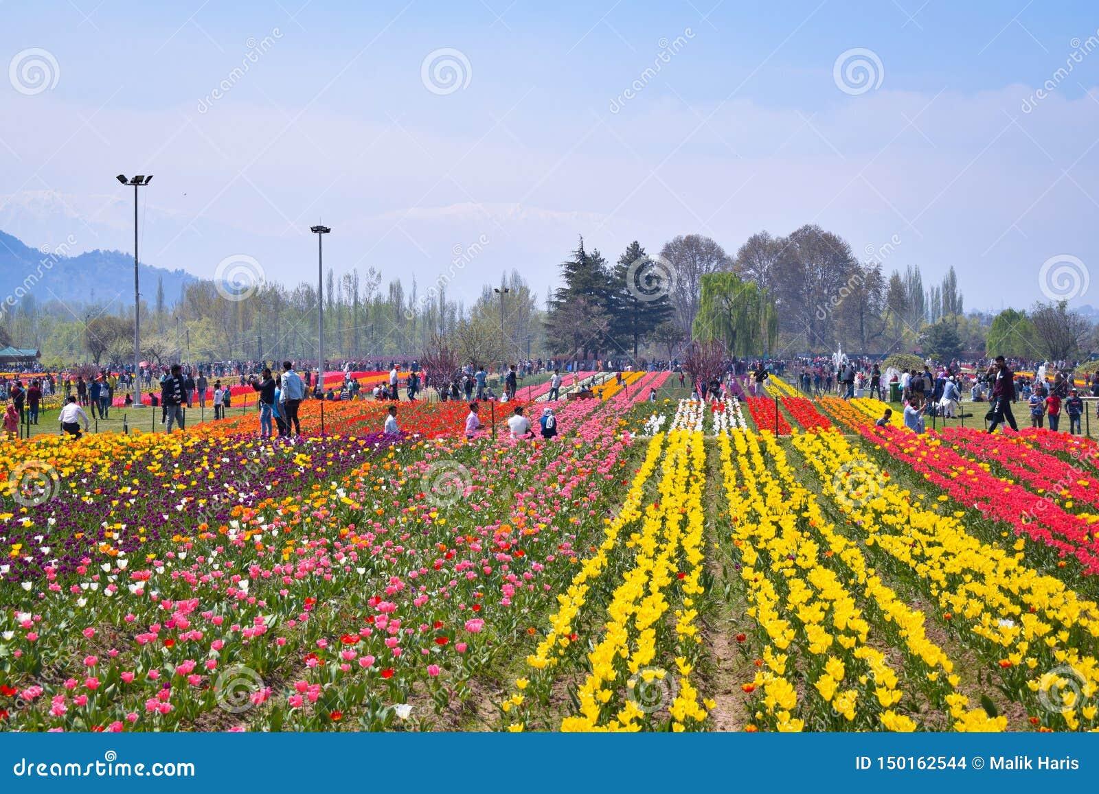Turistas que apreciam e que tomam fotos em asia' o jardim o maior Srinagar da tulipa de s, kashmir, Índia