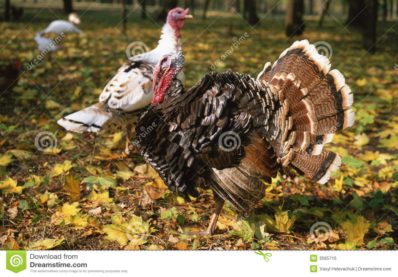 Turkey-cock,