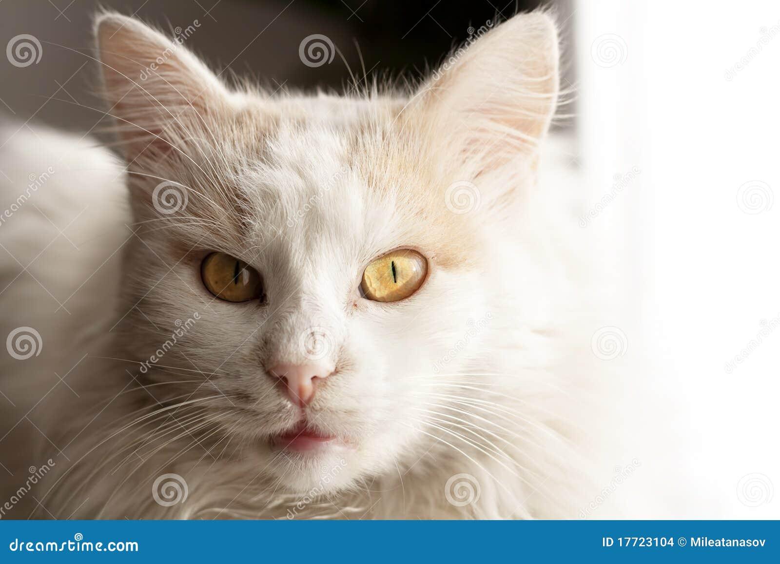Turkish Angora Cat Stock Photo Image Of Nose Eyes Brown 17723104
