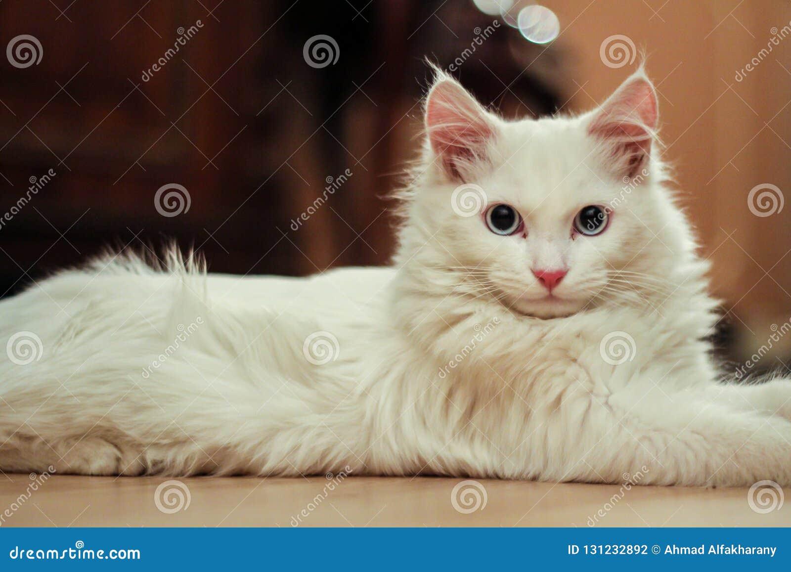 5d6f800d6f Turkish angora cat stock photo. Image of white