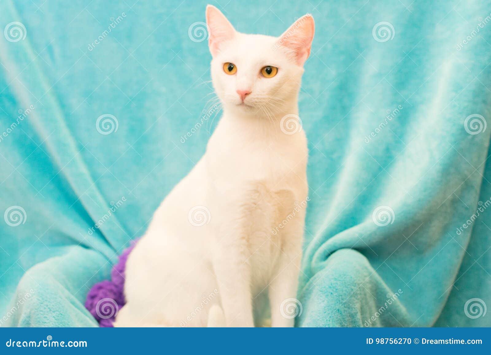 Turkish Angora Cat Stock Photo Image Of Beautiful Texas 98756270