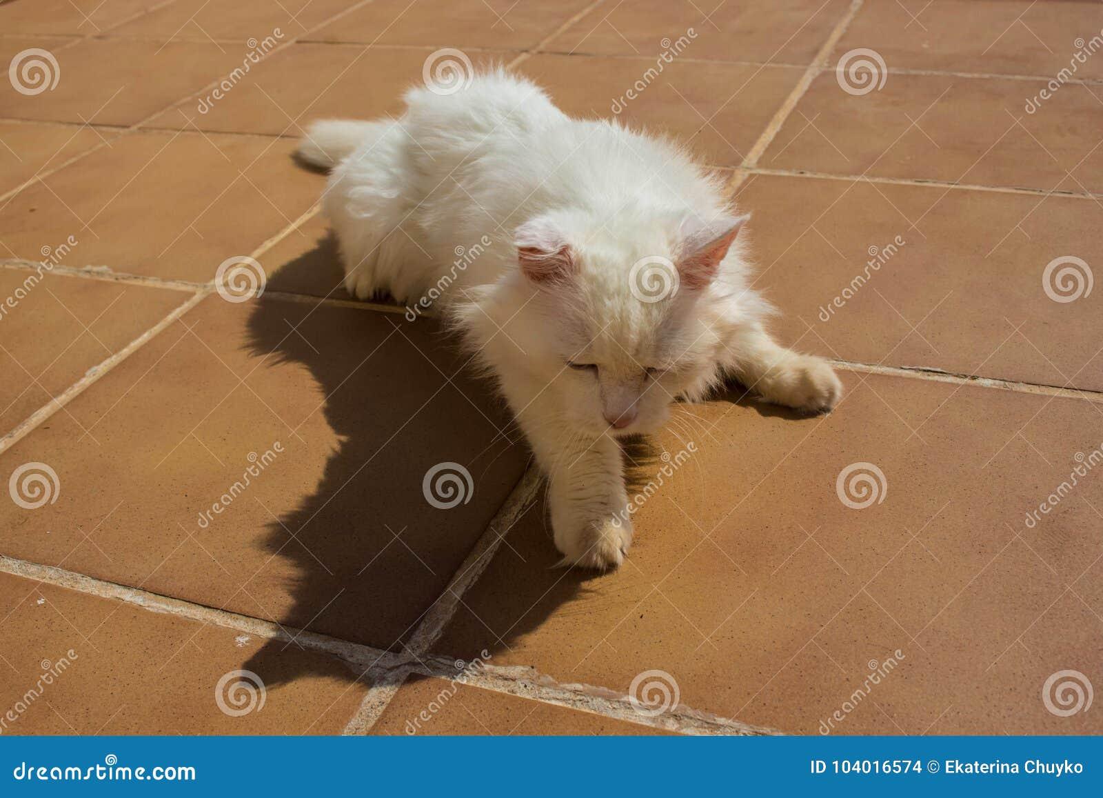 Turkish Angora White Cat Stock Photo Image Of Kitten 104016574
