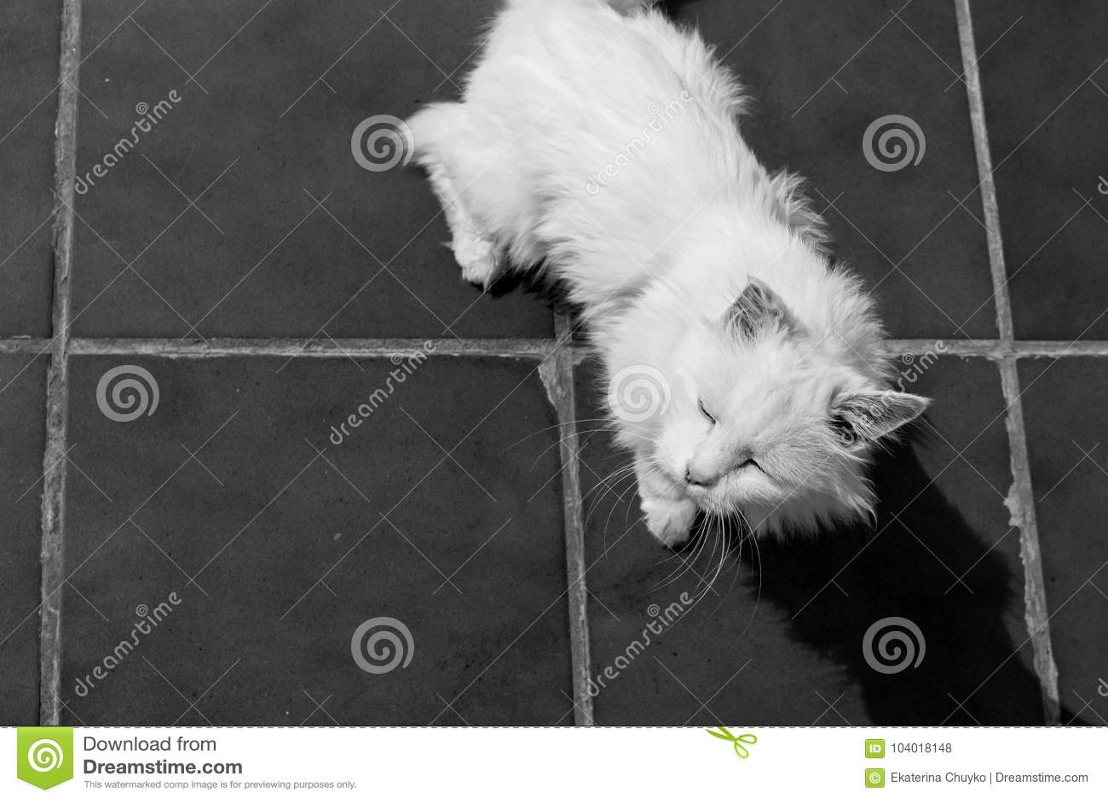 Turkish Angora White Cat Stock Photo Image Of White 104018148