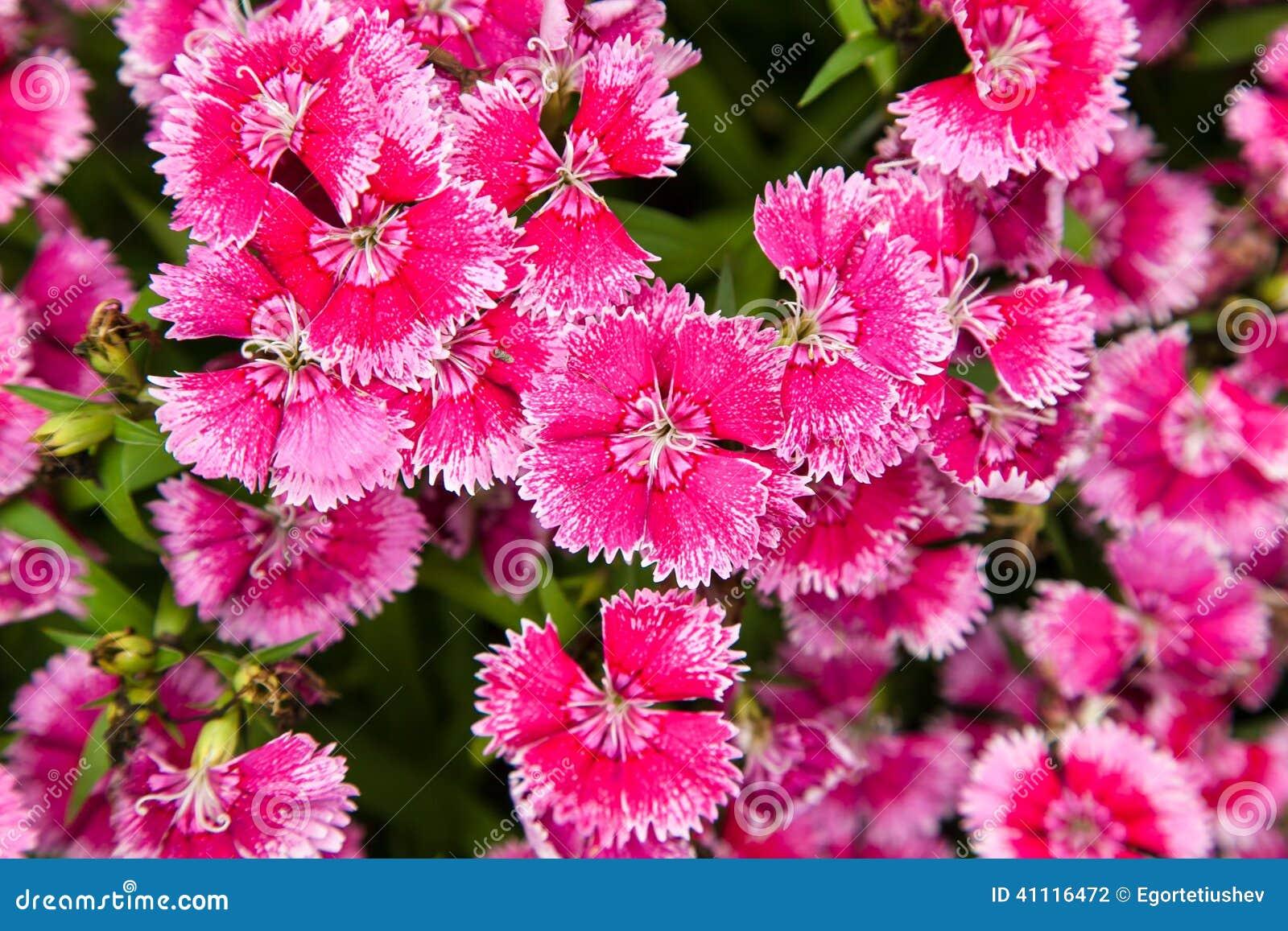 Exelent white flower with pink edges vignette wedding and flowers funky white flower with pink edges crest wedding and flowers mightylinksfo