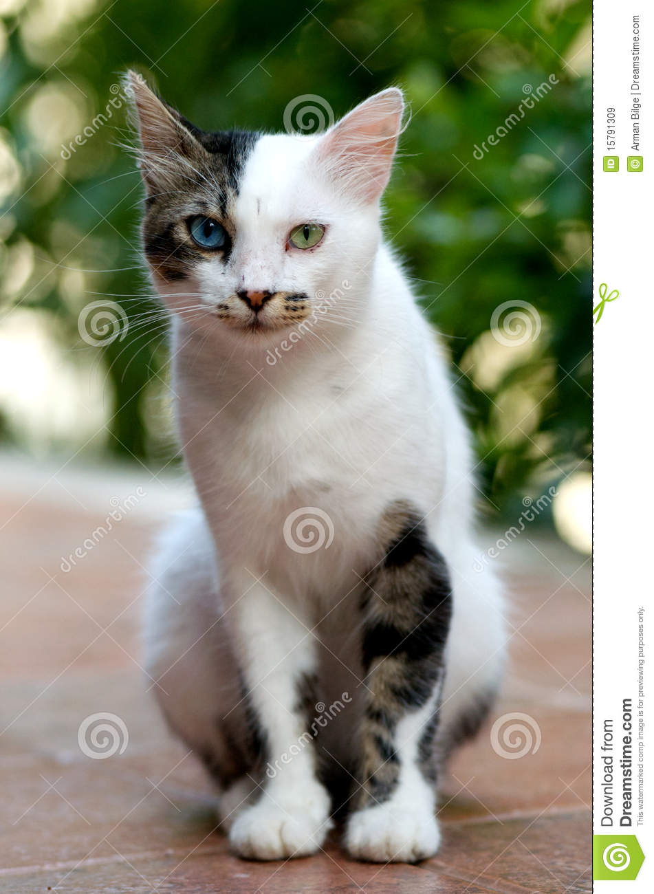edd80023f0 Turkish Van Cat stock image. Image of head