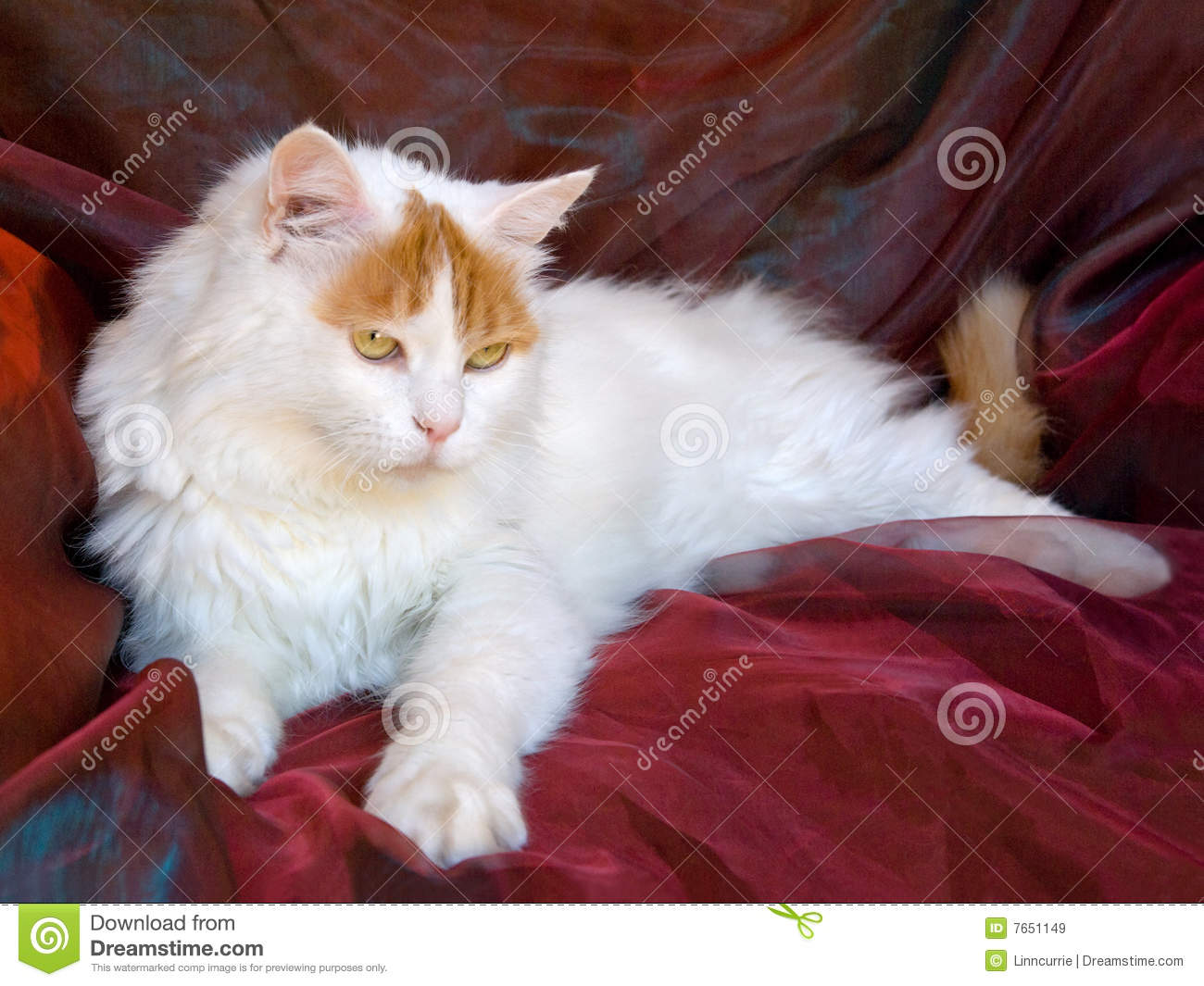 d113613733 Adult Turkish Van cat on shiny background fabric