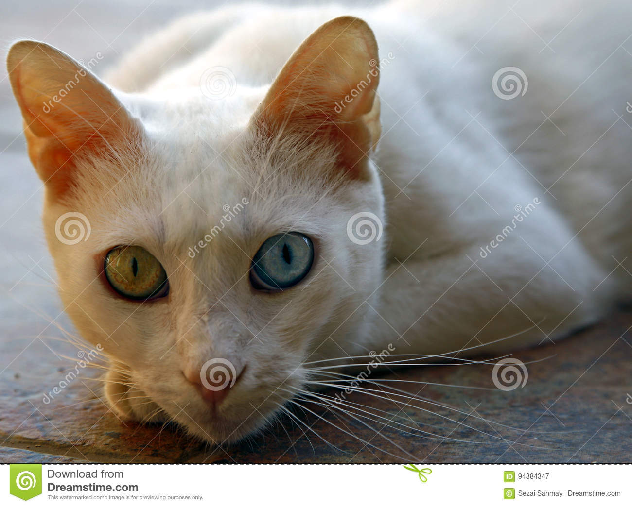 0d82026b34 The Van cat is a distinctive landrace of domestic cat