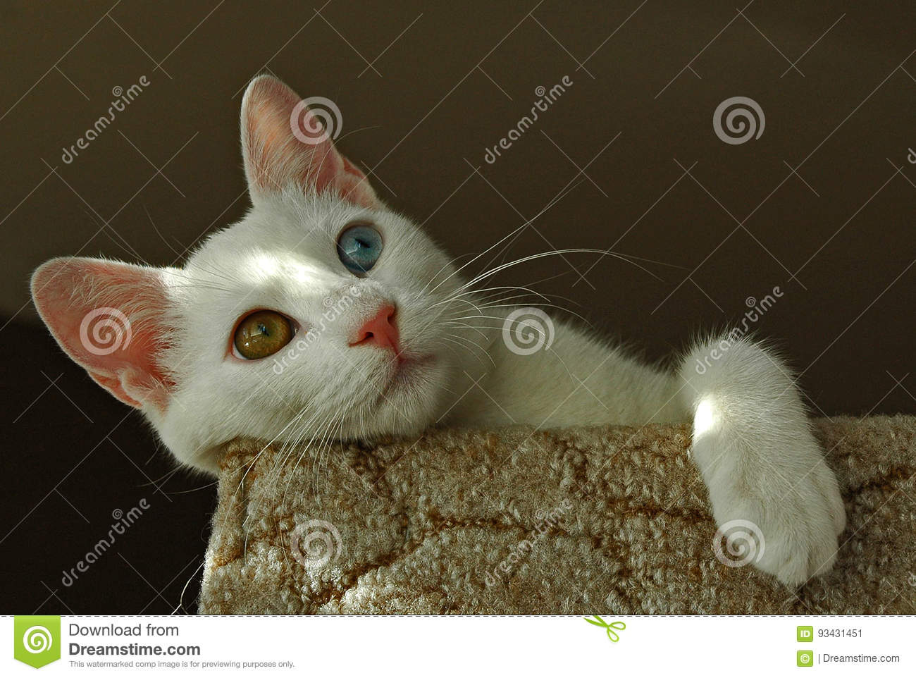 e70ac3cf5f The Turkish Van is nicknamed the `swimming cat` for his love of water. This  is a smart