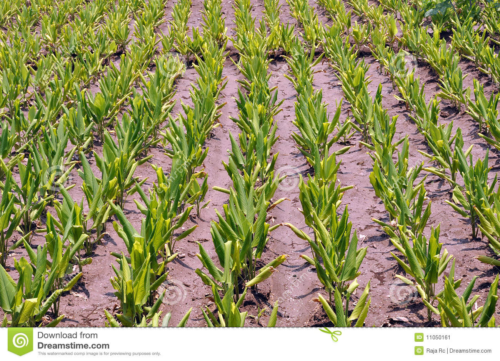 Turmeric Plants Stock Image Image 11050161