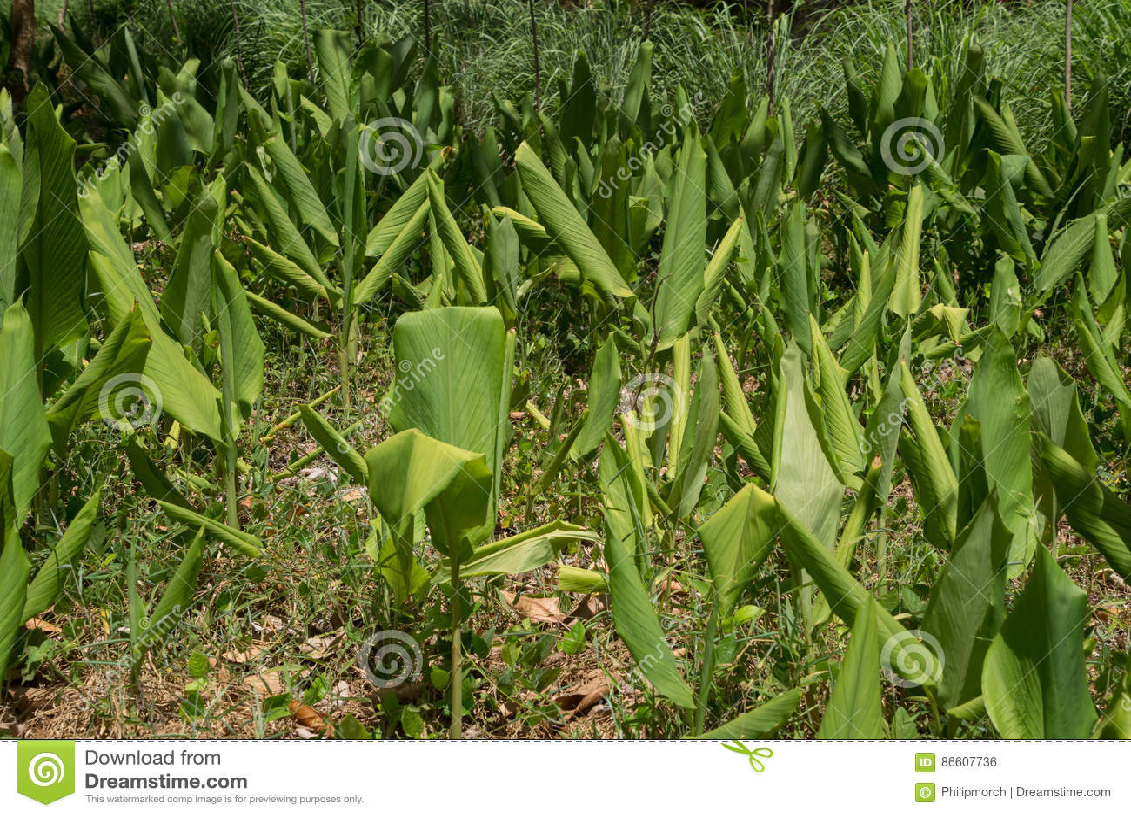 Turmeric rośliny