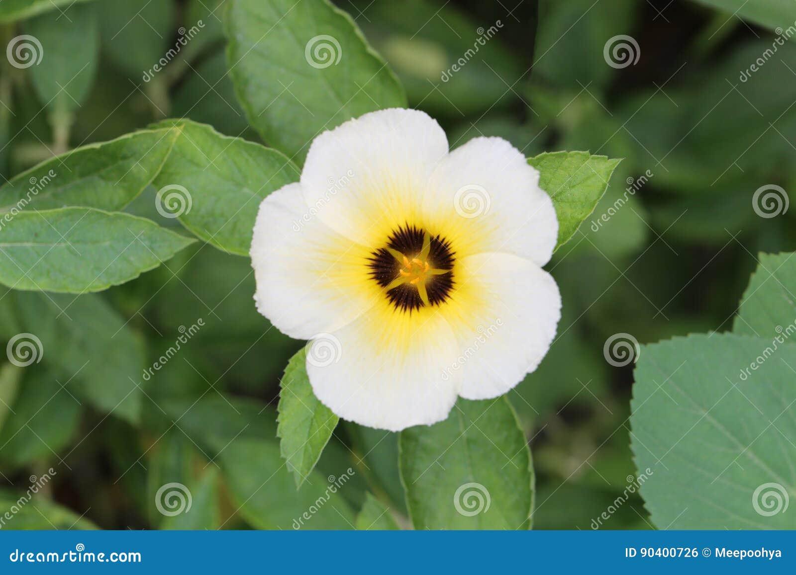 Turnera Subulata Or White Sage Rose Flower Stock Photo Image Of