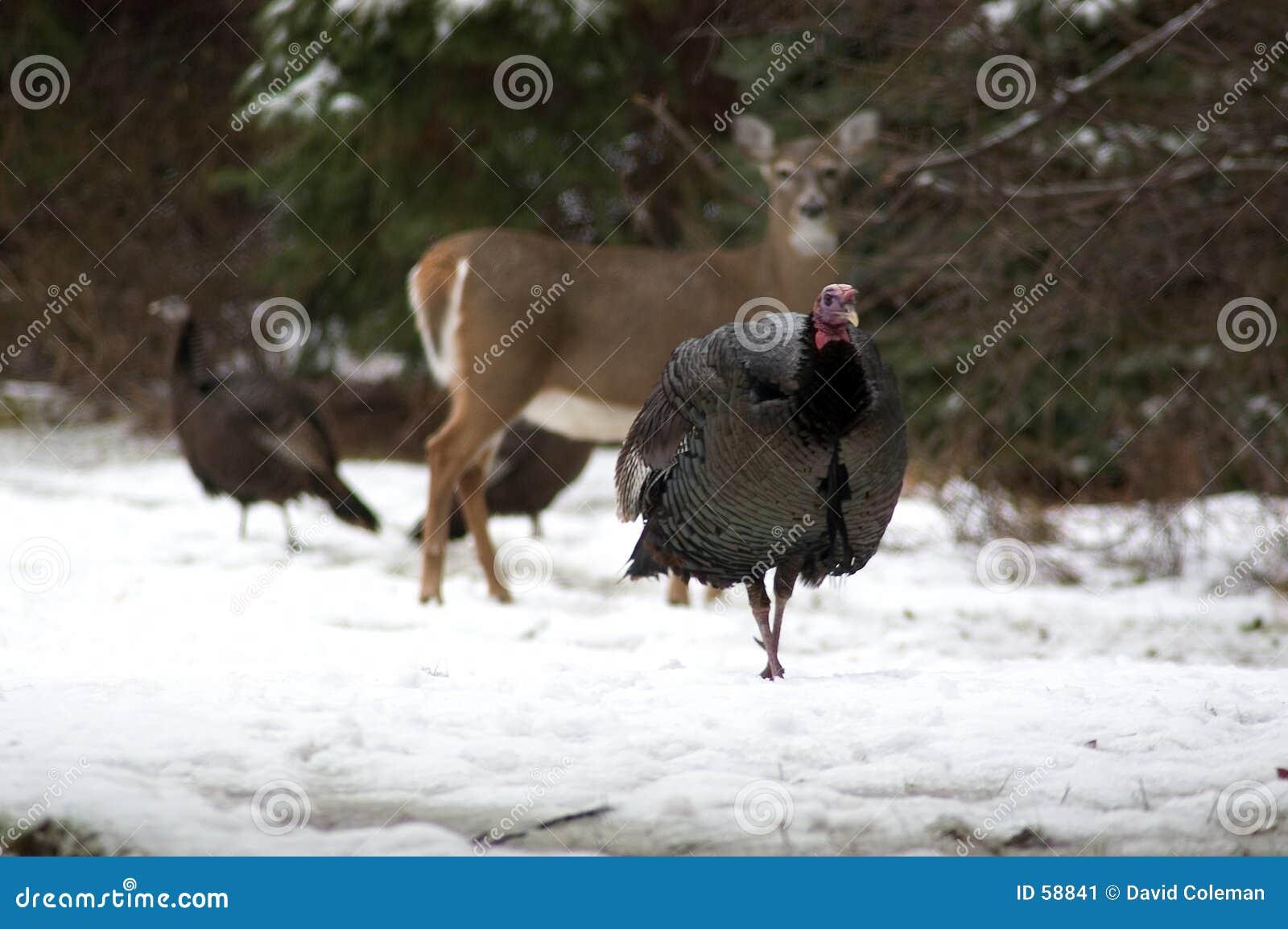 Turquía con los ciervos