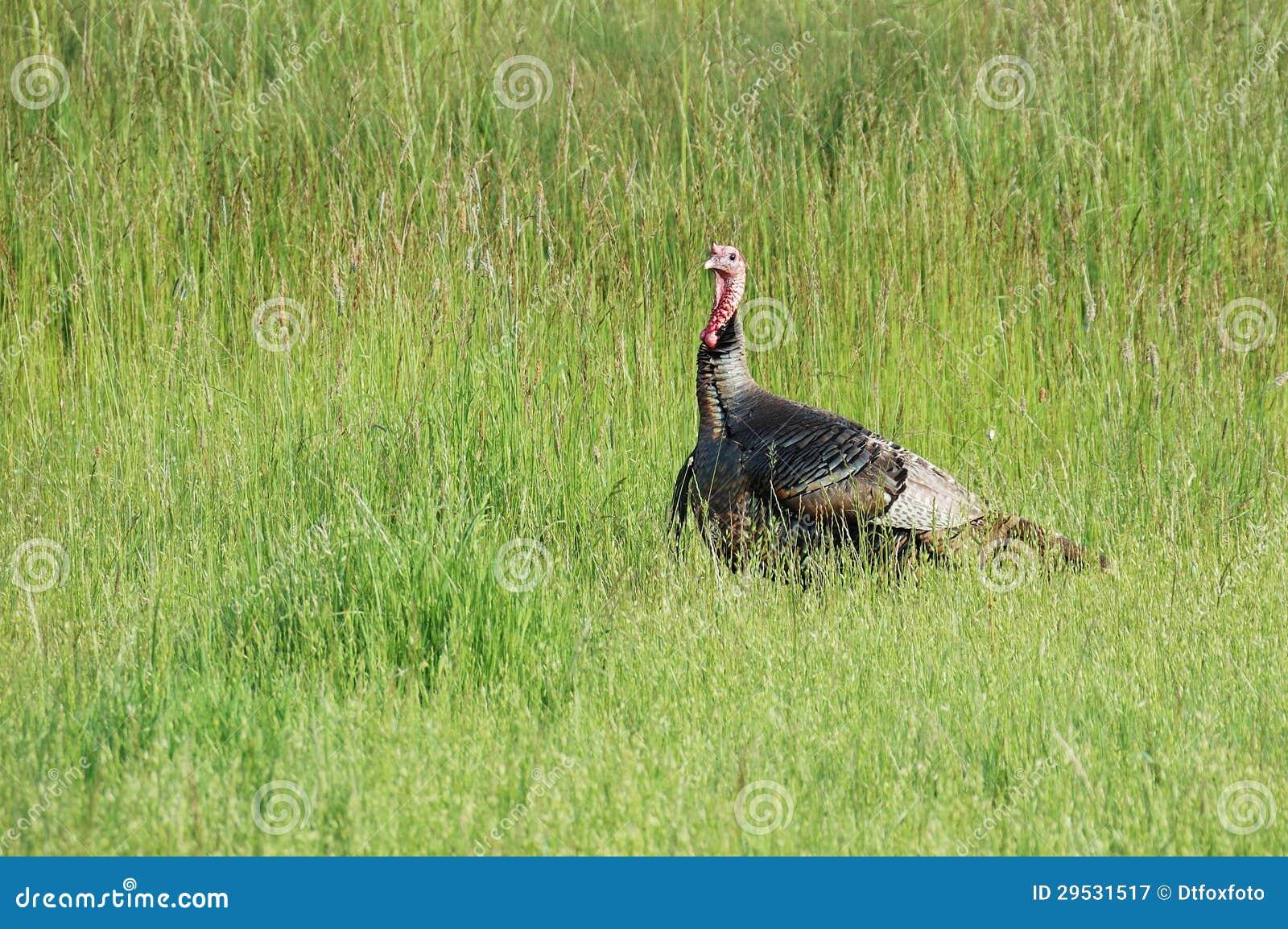 Turquia selvagem em um campo