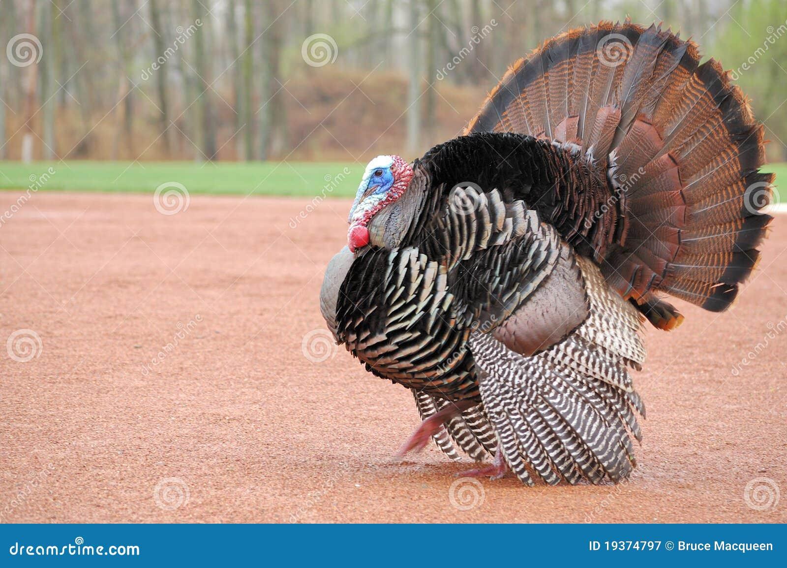 Turquia selvagem (gallopavo do Meleagris)