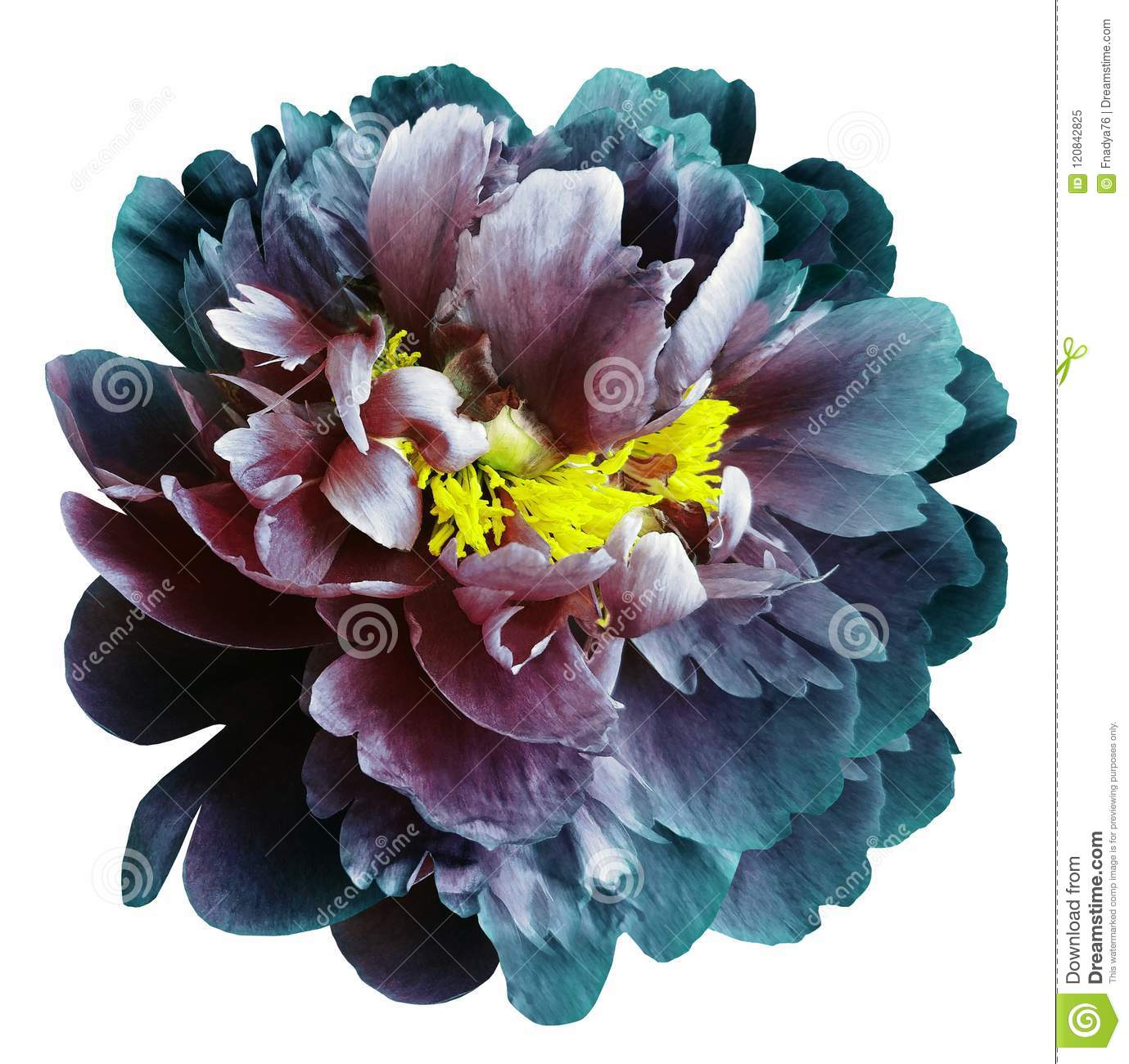 Turquoise-blue-red peony flower with yellow stamens on an isolated white background with clipping path. Closeup no shadows. For