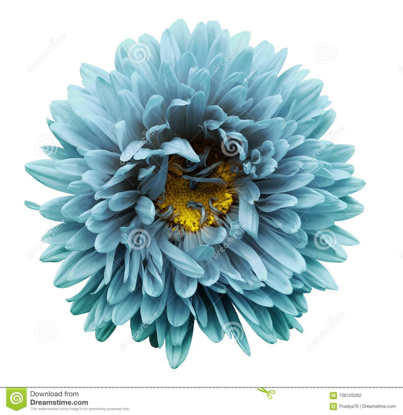 Turquoise Flower Aster On A White Isolated Background With Clipping