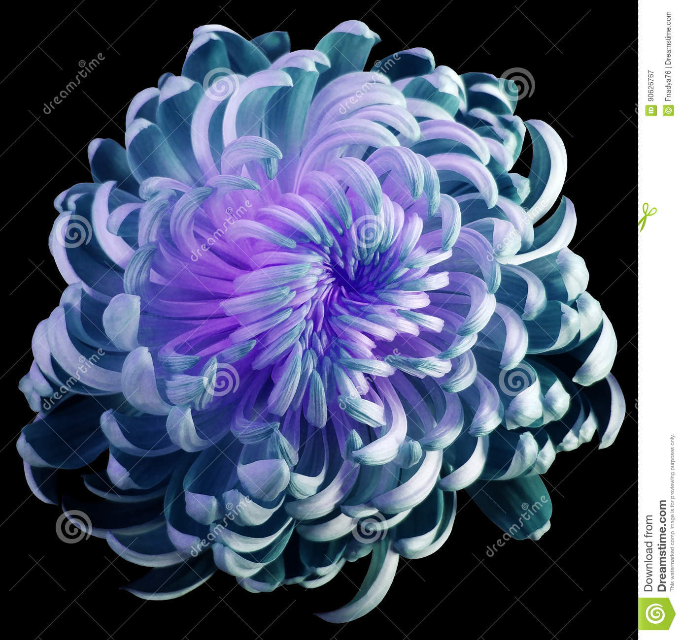 flower Turquoise-violet chrysanthemum. Motley garden flower. black isolated background with clipping path no shadows. Closeup.