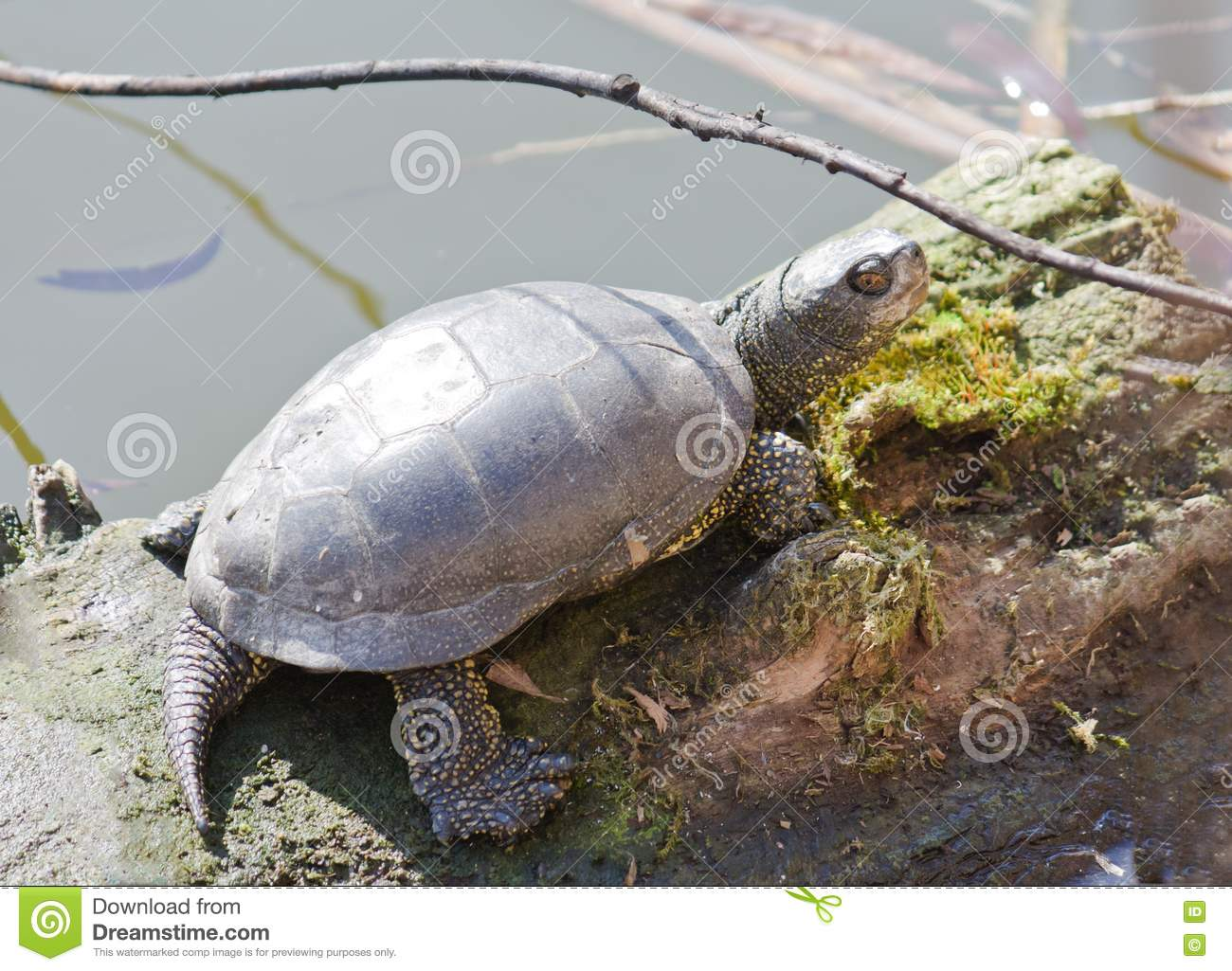 Basking Area For Aquatic Turtles : Turtle Basking In Sunlight On A Lake Shore Stock Photography - Image ...