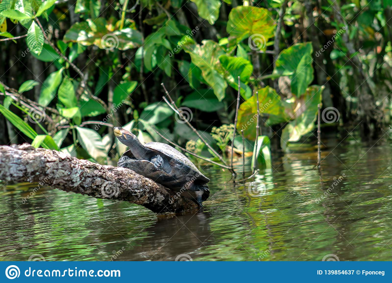 Turtle climbing up a log over the river in the jungle