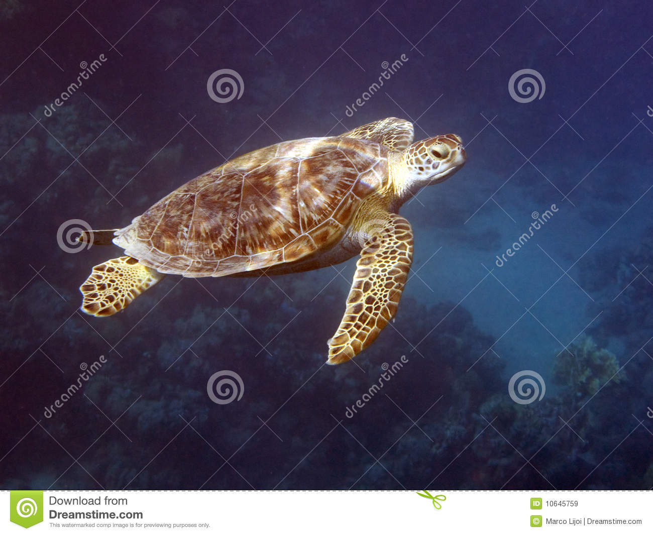 Turtle in deep blue