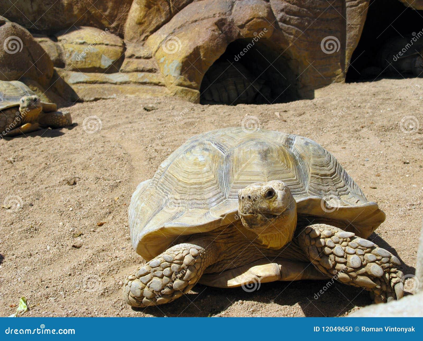 Turtle and desert