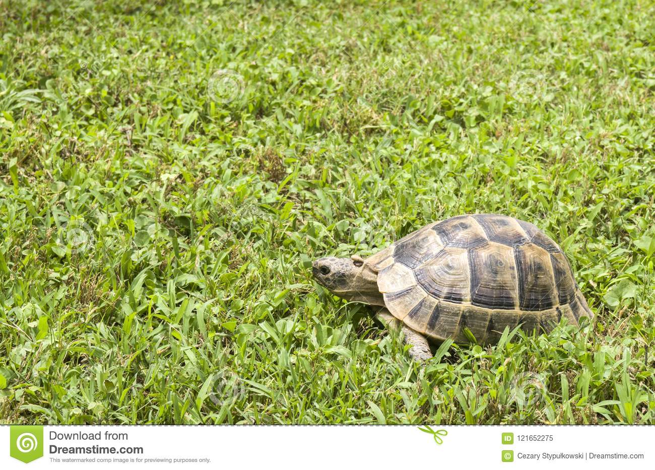 Turtle eating and walking on green grass