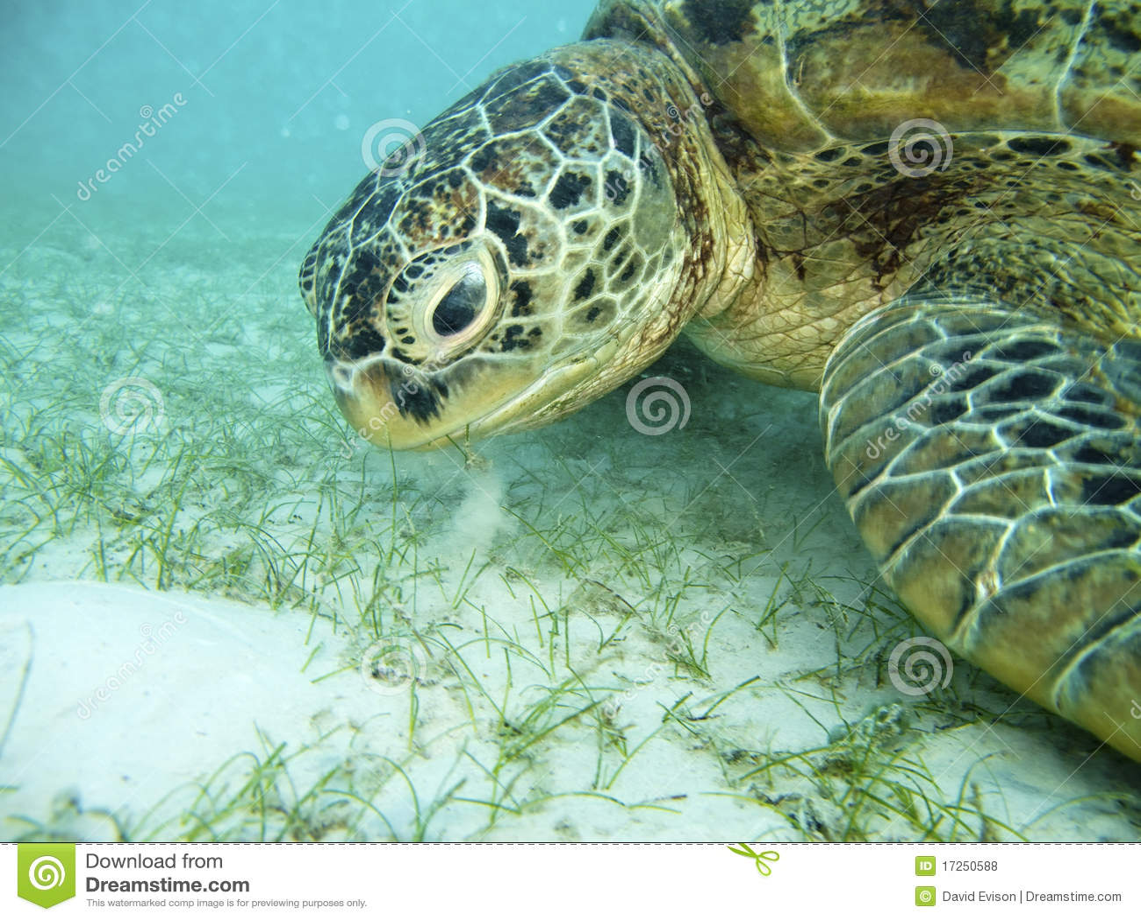 Turtle Feeding. Royalty Free Stock Photos - Image: 17250588