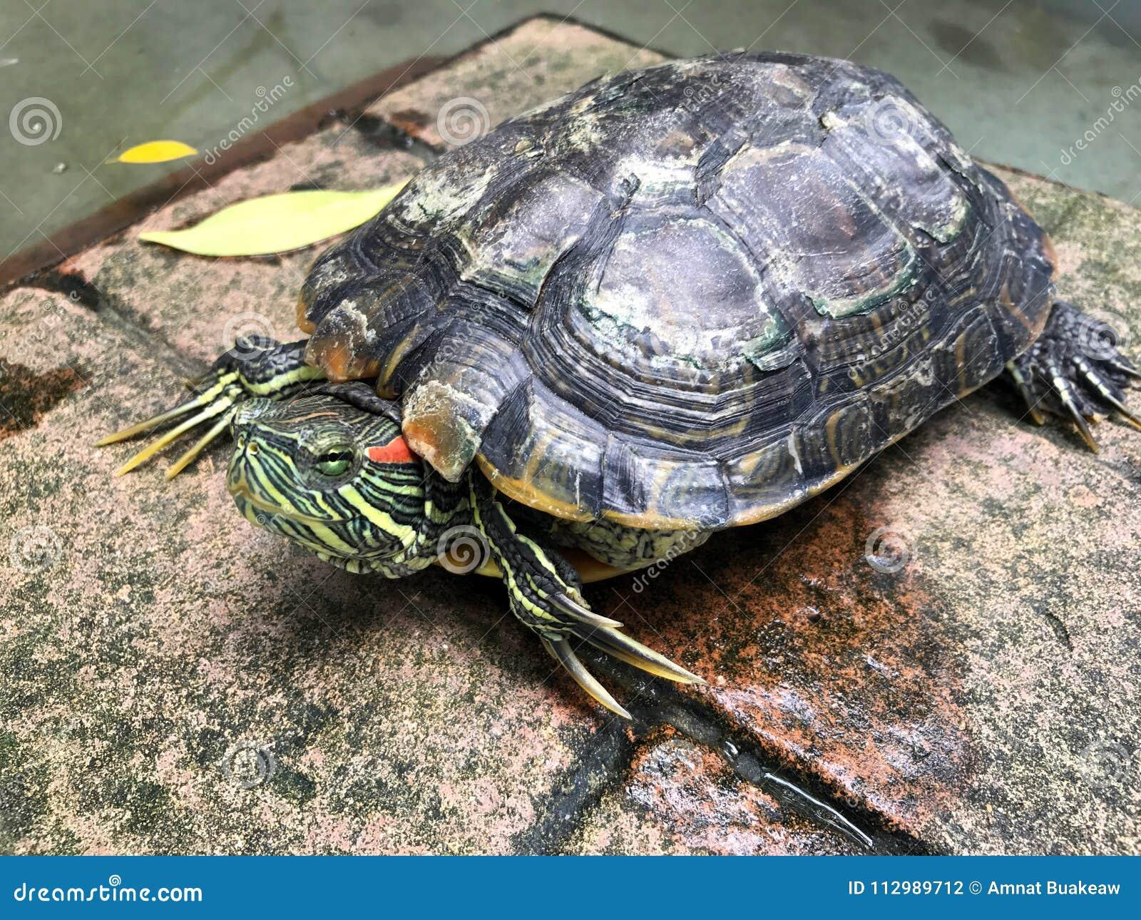 Turtle, Freshwater turtle, beautiful turtle