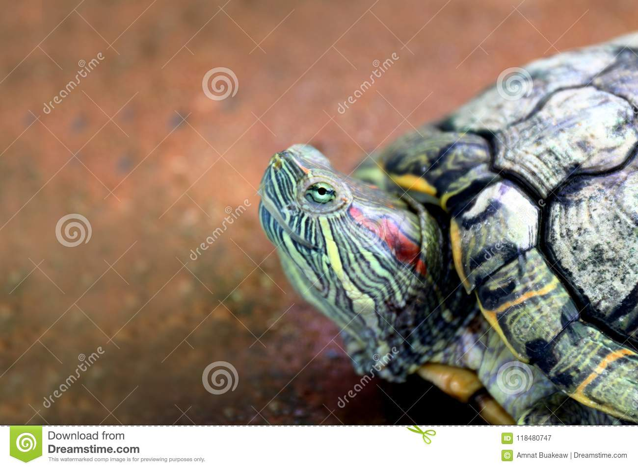18 Amazon Head Red Turtle Photos Free Royalty Free Stock Photos From Dreamstime