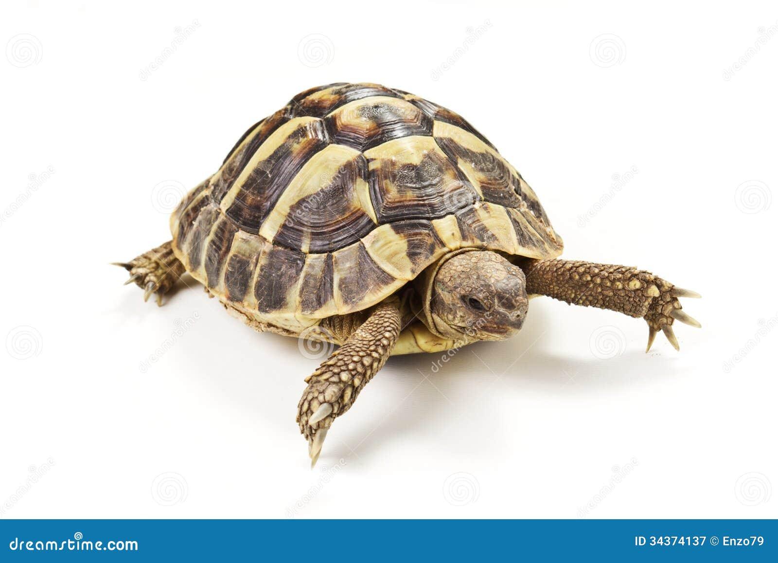 turtle white background - photo #27