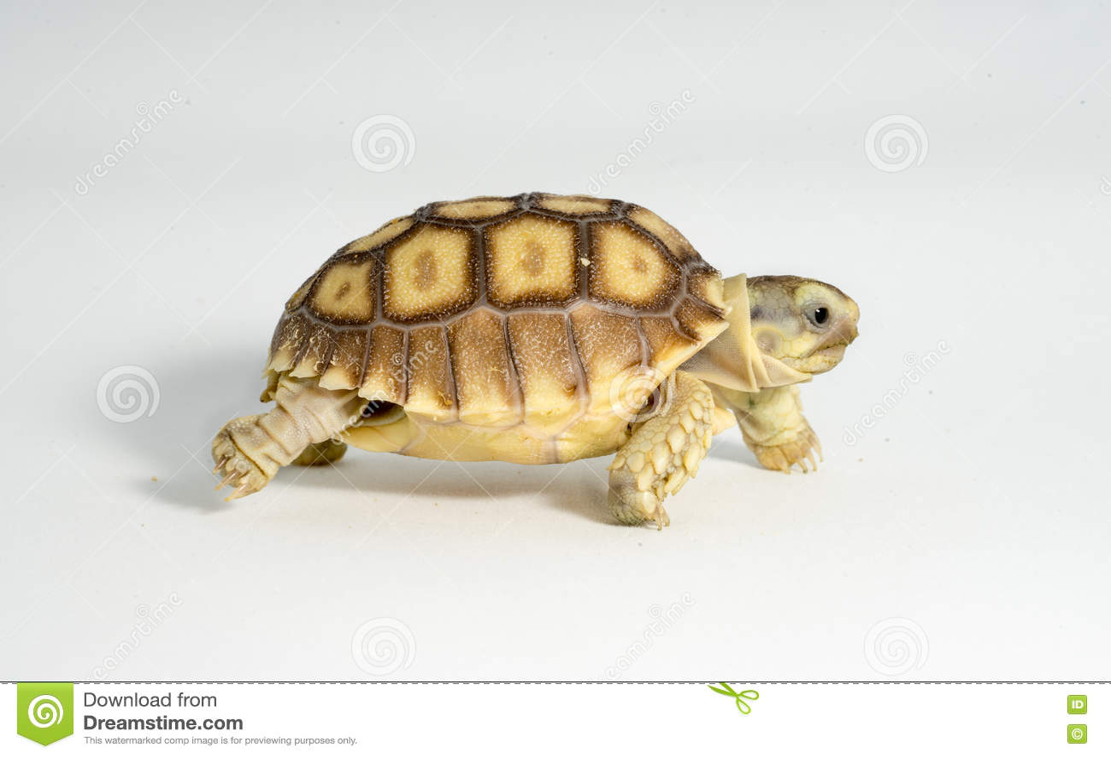 Turtle Newborn Sulcata Stock Image Image Of Ecology 76017263