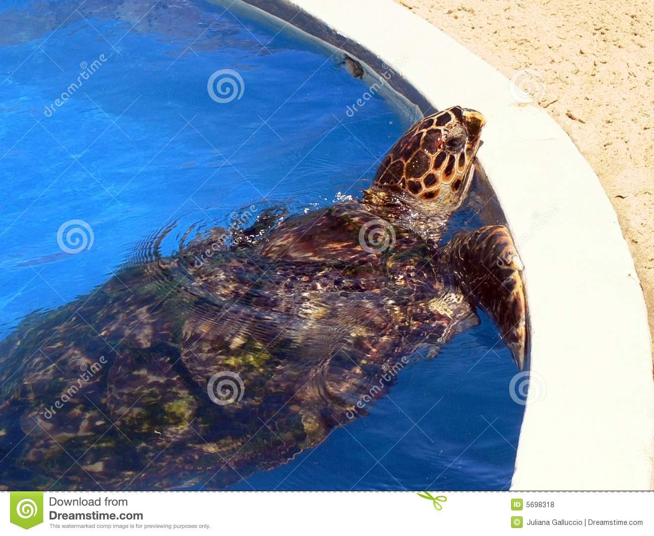 Turtle In Pool Royalty Free Stock Photos Image 5698318