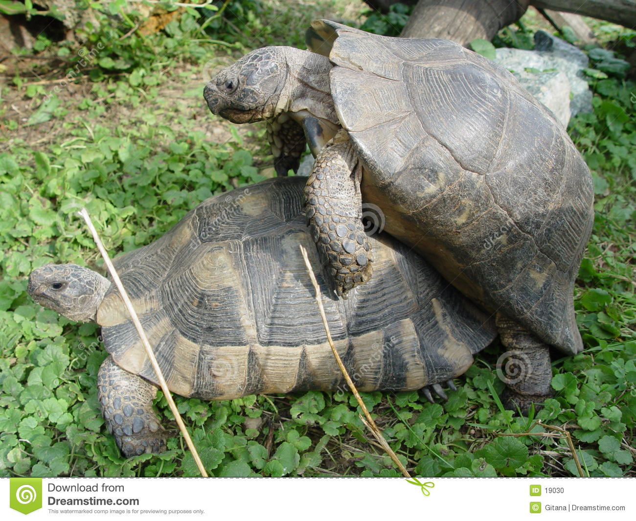 turtle at the sexual intercourse
