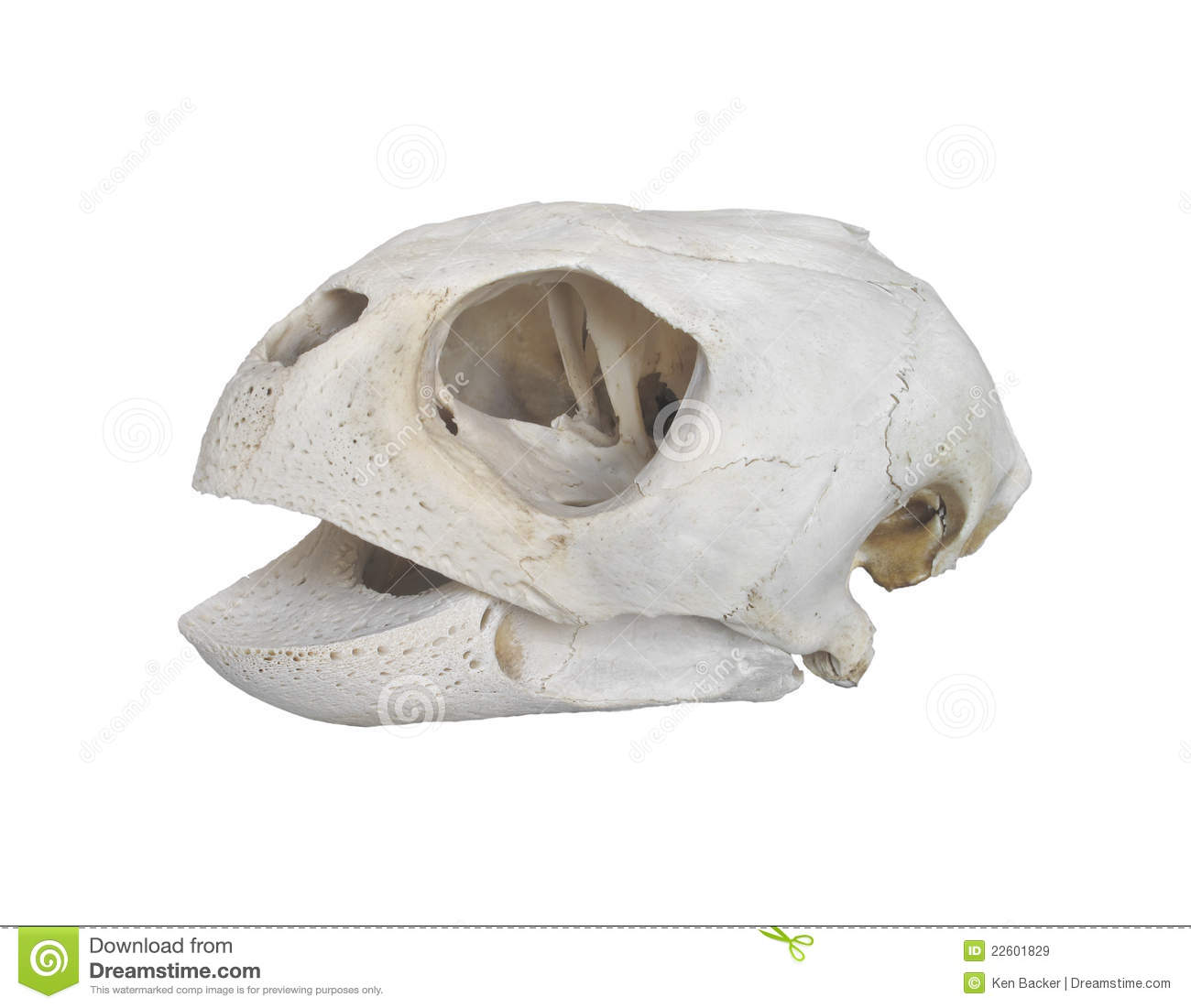 Turtle skull isolated stock image. Image of white, science - 22601829