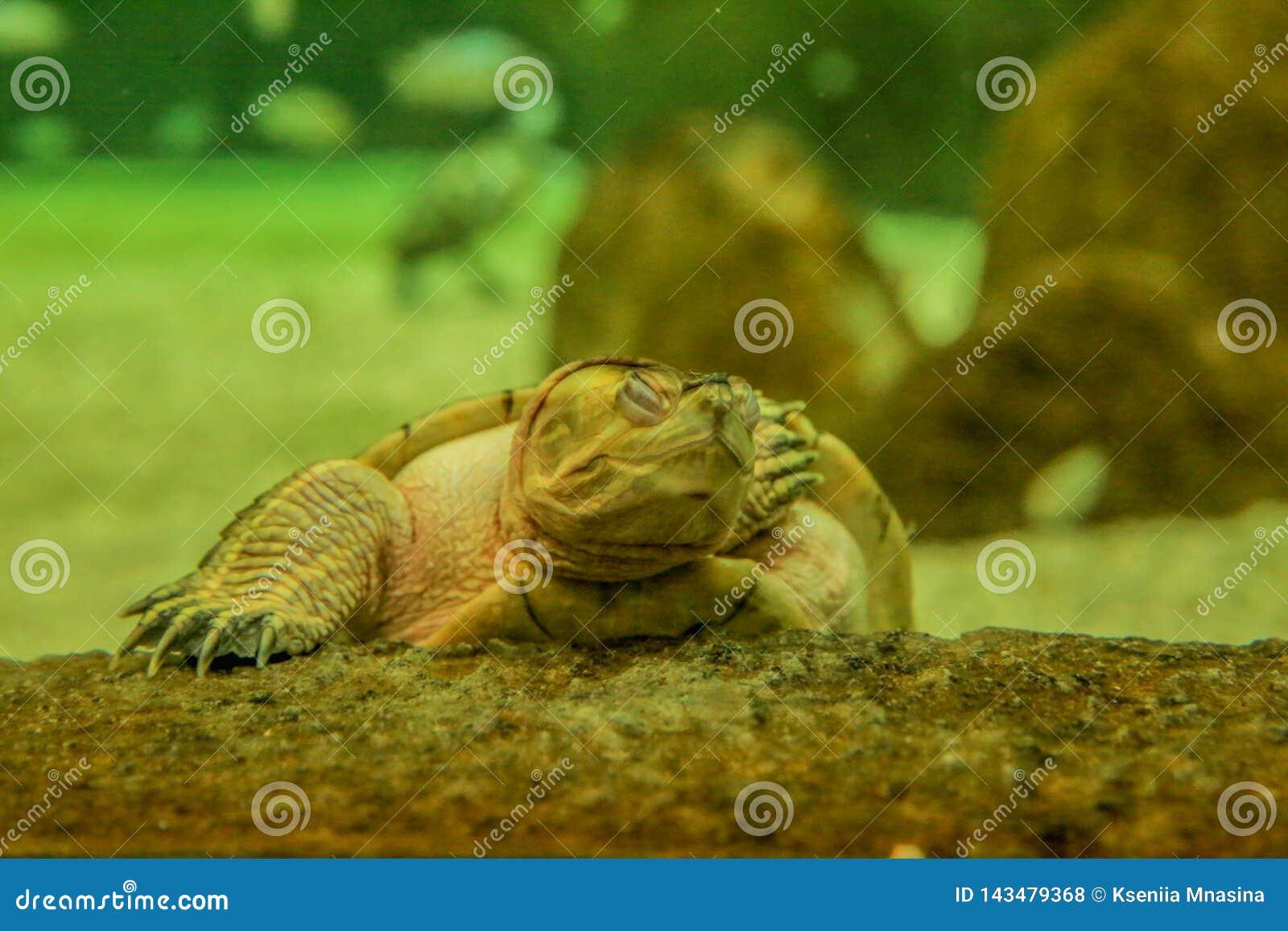 Turtle sleeping on the stone
