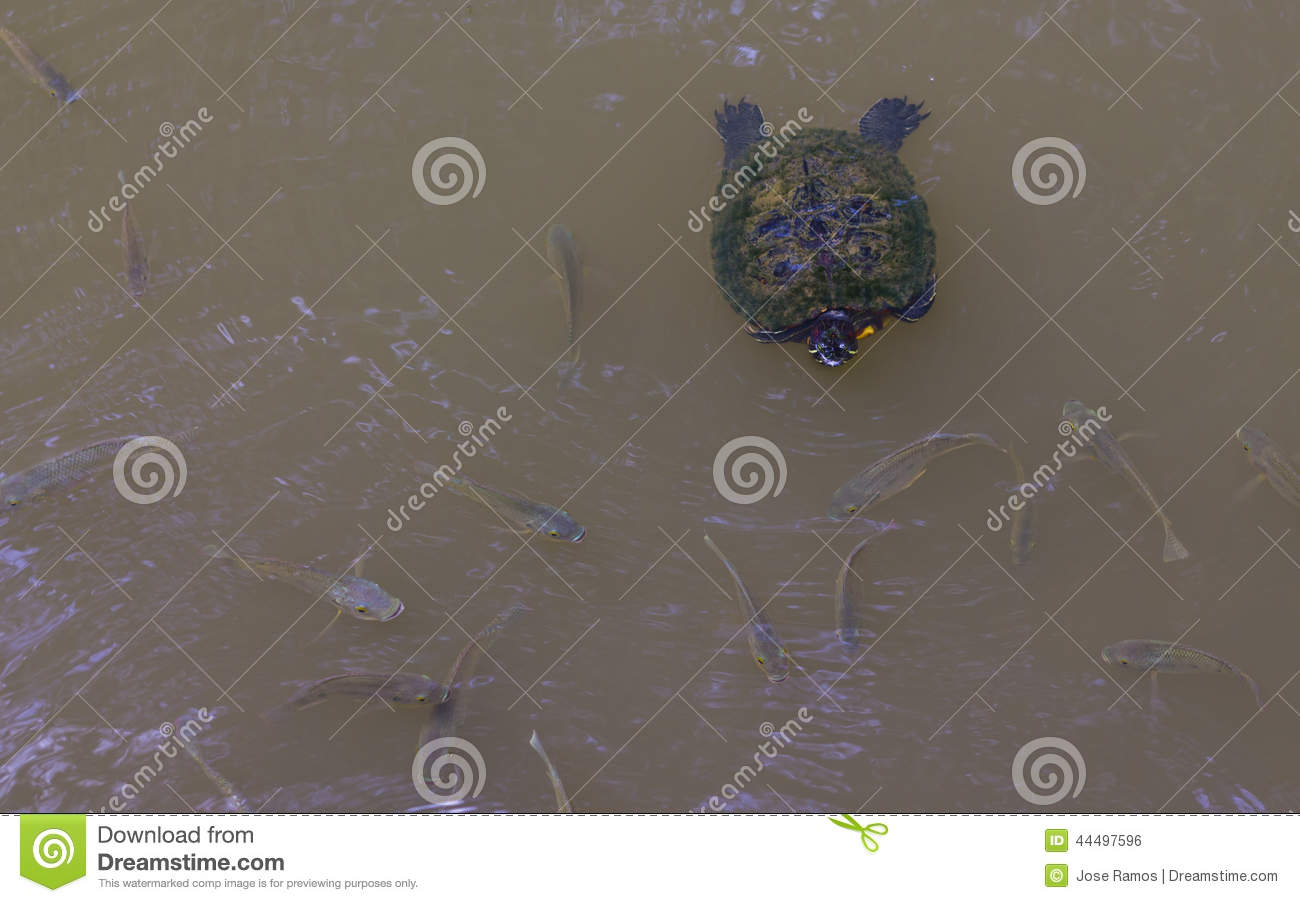 Turtle swimming in a pond with fish stock photo image for Pond fish identification