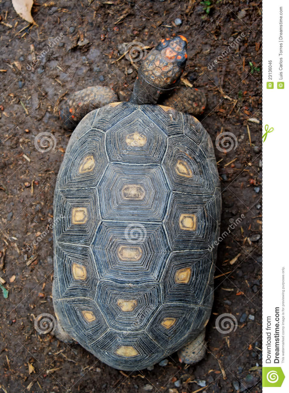 Turtle top view
