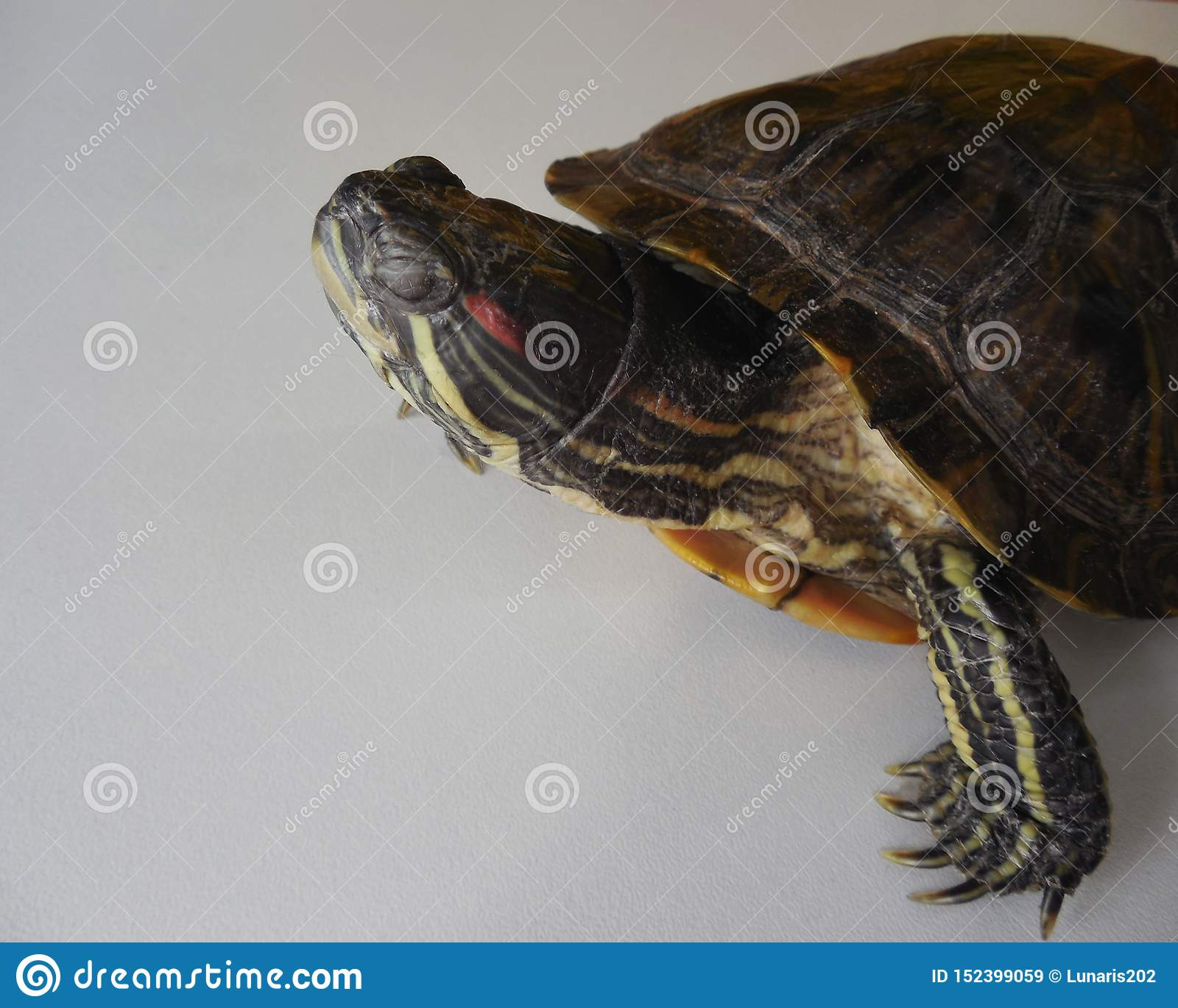 Turtle Water On Land. I Closed My Eyes Side View. Stock ...