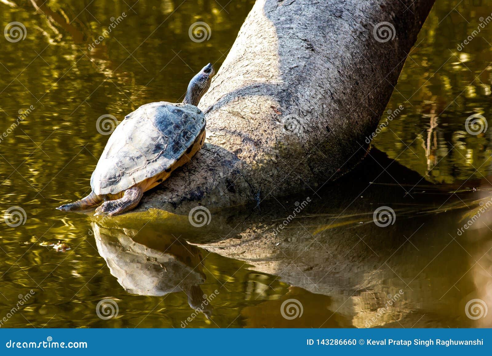 Turtle between water and tree