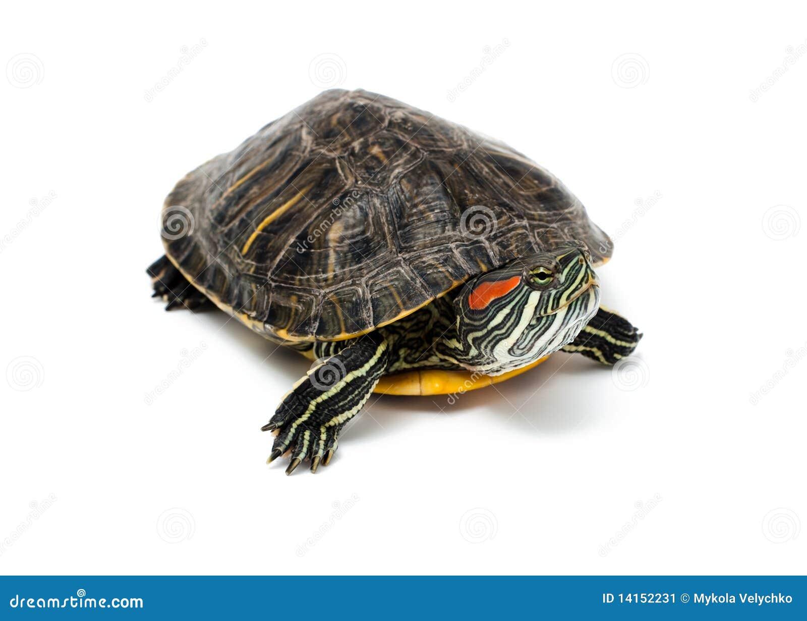 turtle white background - photo #7