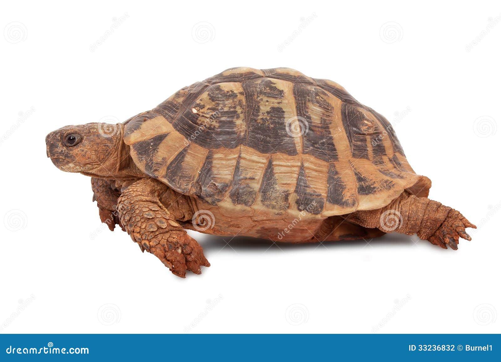 turtle stock photography image 33236832