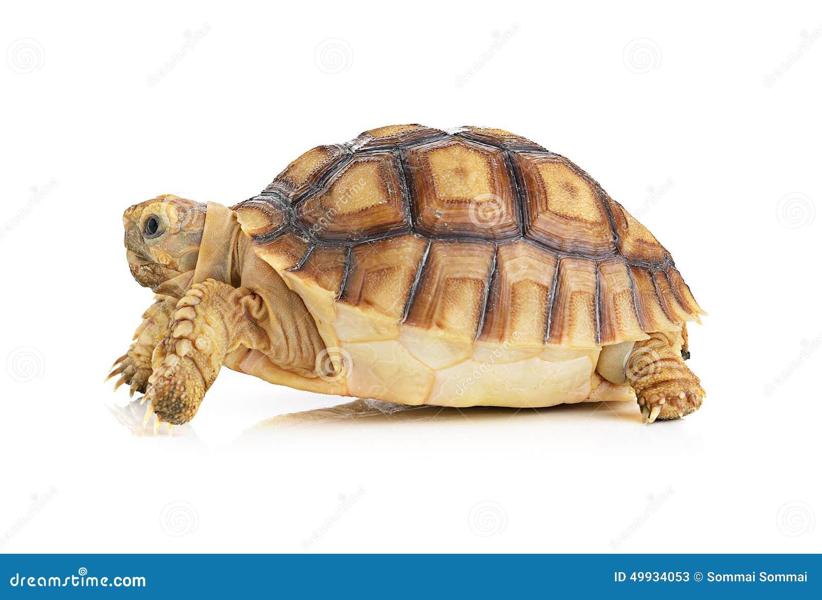 turtle white background - photo #49