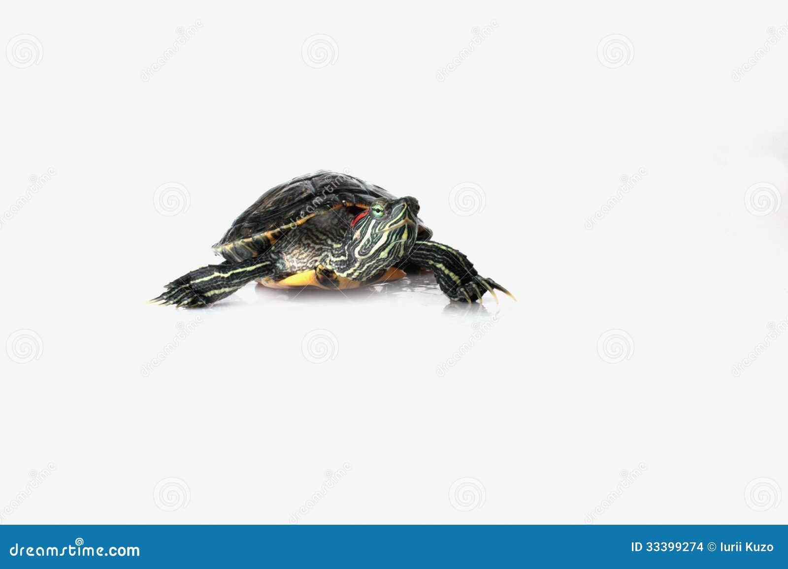 turtle white background - photo #41