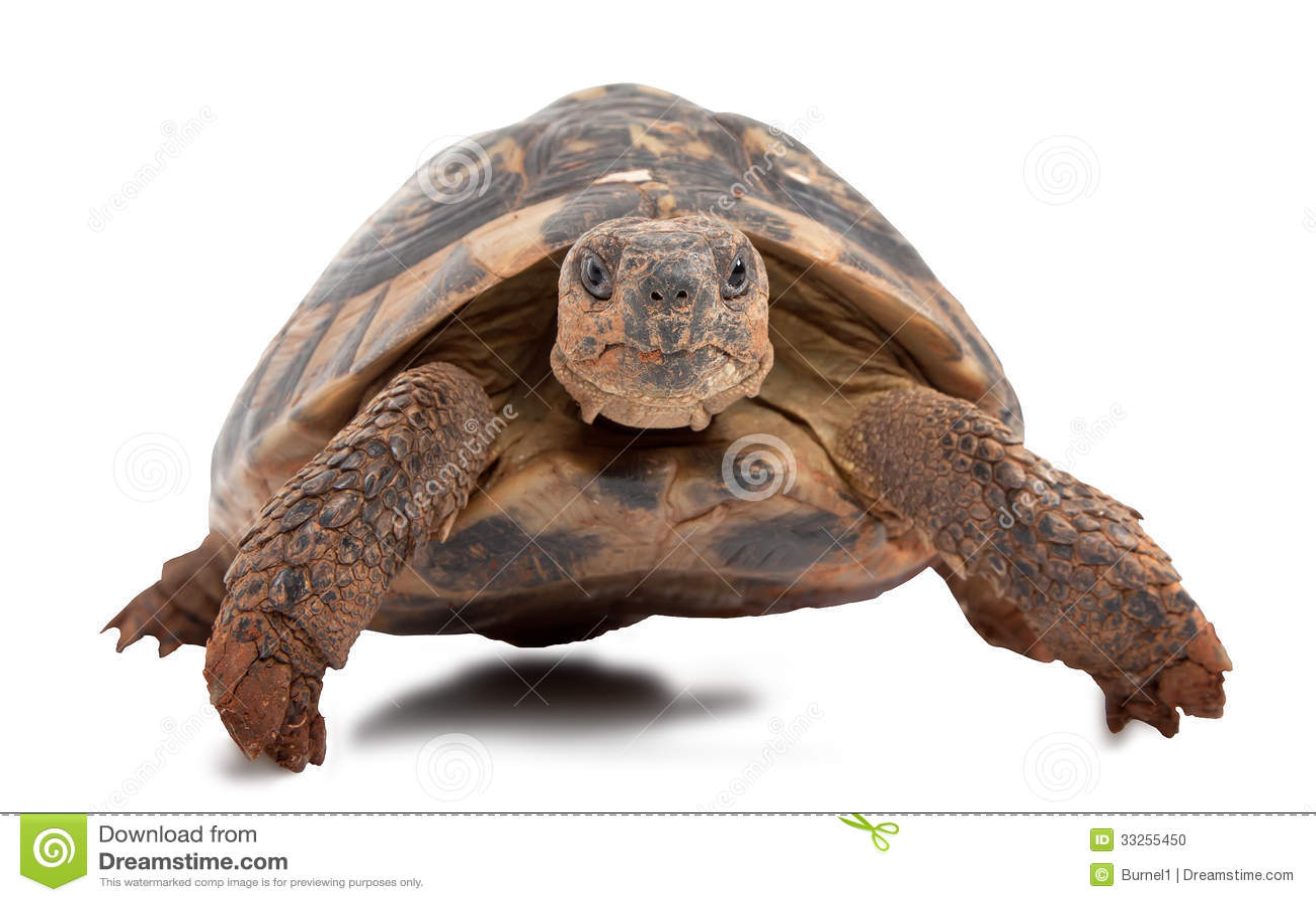 turtle white background - photo #45