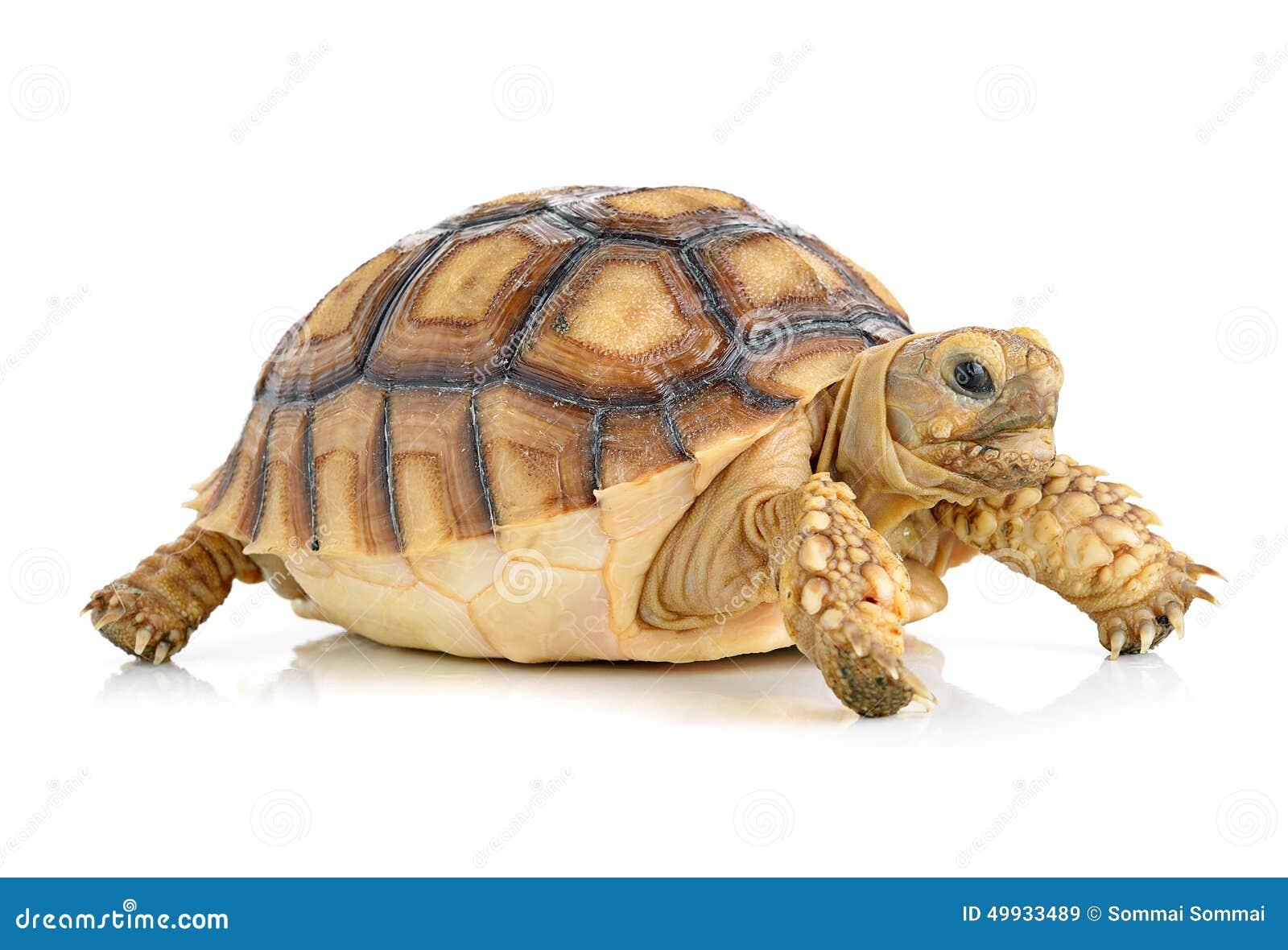 turtle white background - photo #19
