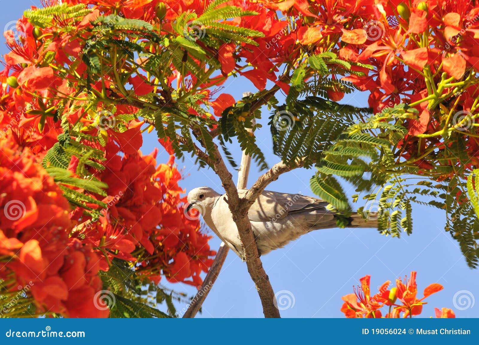 Turtledove in a flowering tree