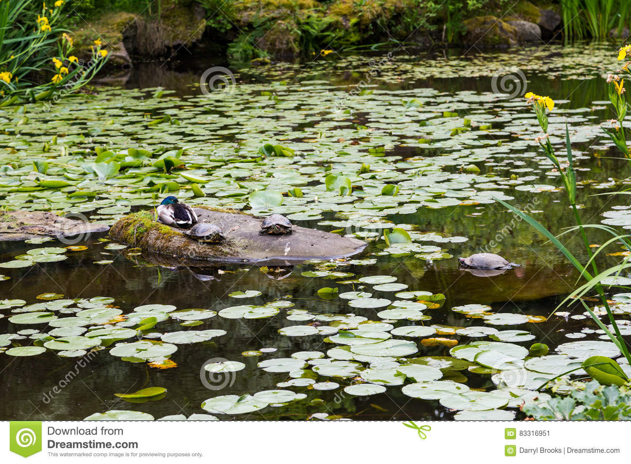 Lily pad duck pond royalty free stock image for Pond dealers