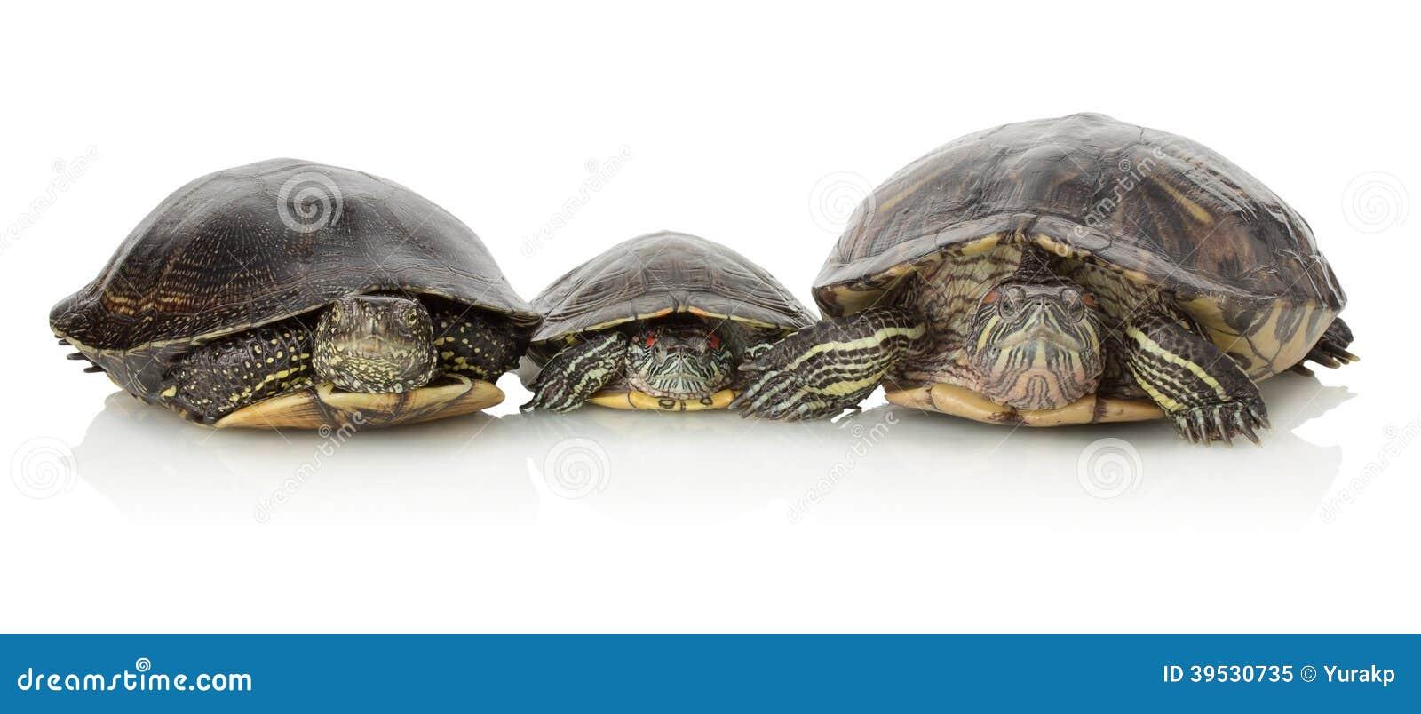 turtle white background - photo #21