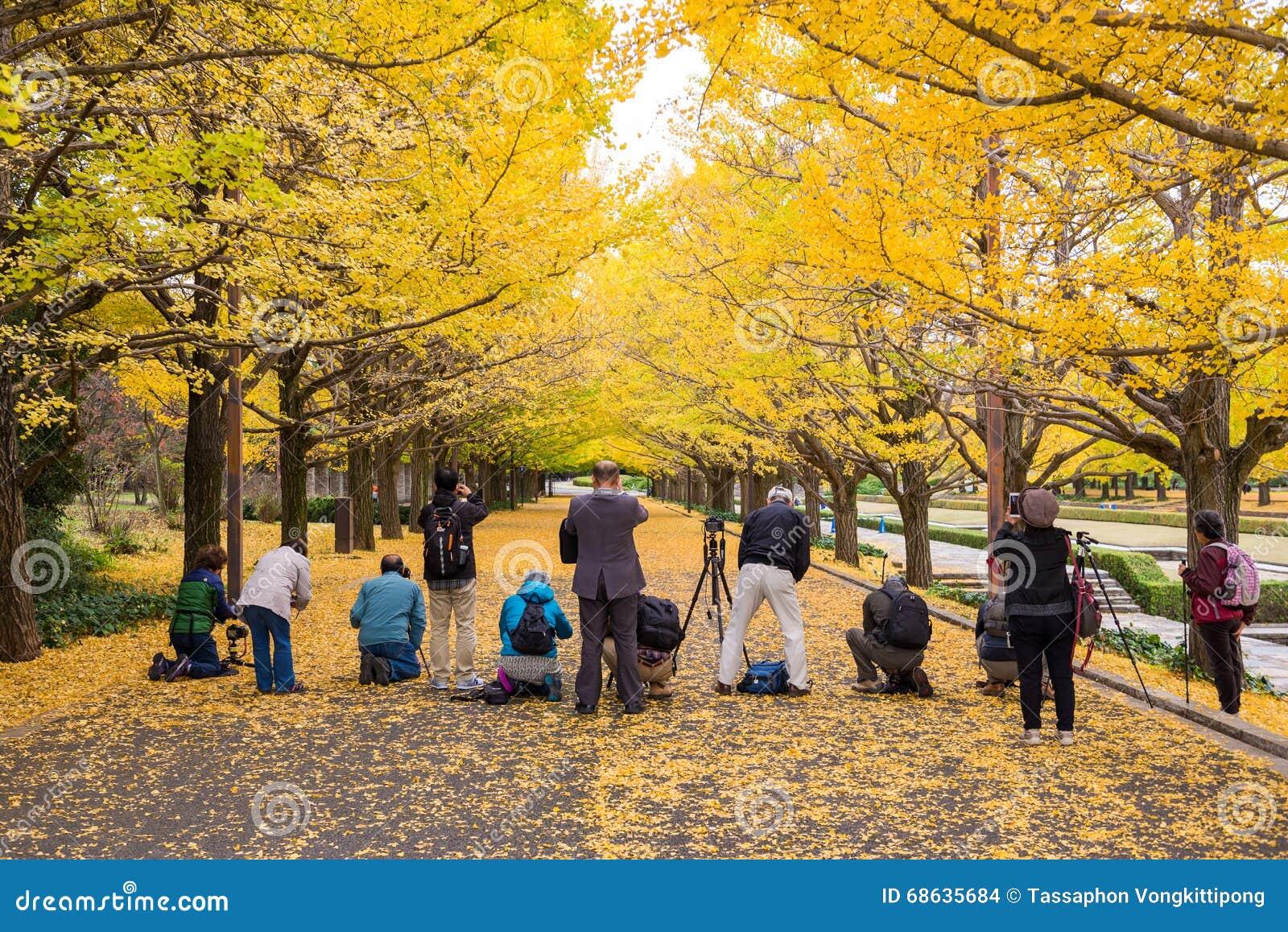 Turyści biorą fotografię dla żółtych ginkgo liści